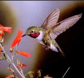 colibrì