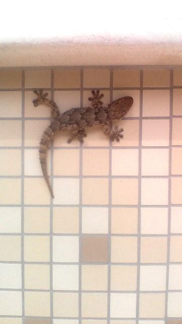 geco sul mosaico